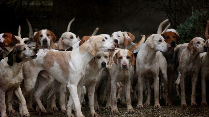 troupeau chien chasse